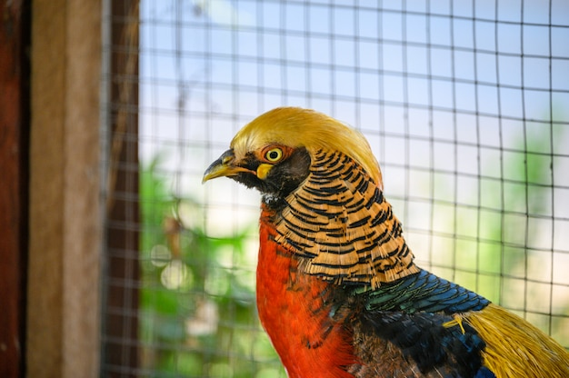 Golden pheasant is colorful wild bird