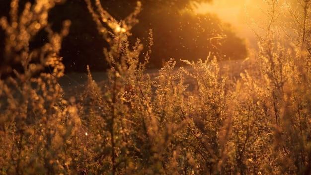 황금 식물