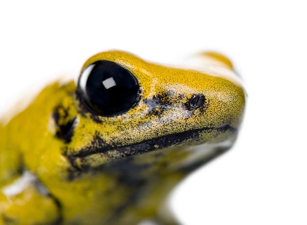 Золотая ядовитая лягушка, phyllobates terribilis изолированы