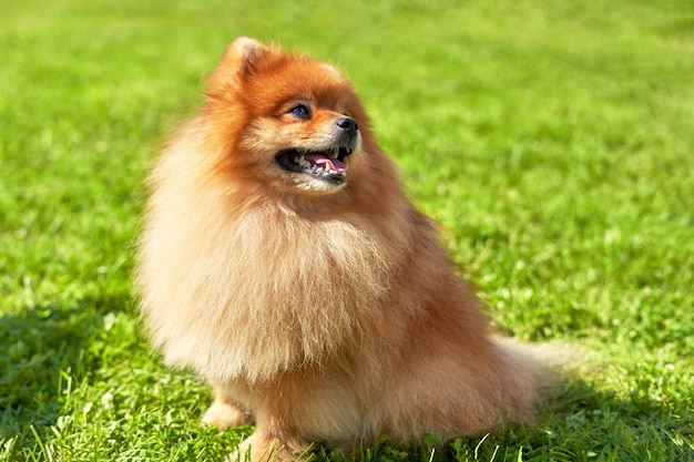 Golden pomeranian spitz sits half a turn on the grass and looks up