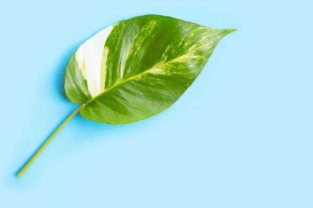 Golden pothos or devil ivy leaf on blue background.