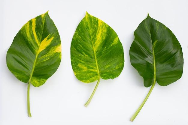 Golden pothos or devil's ivy leaves on white background.