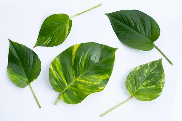 Golden pothos or devil's ivy leaves on white surface.