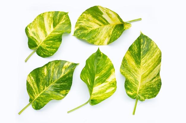 Golden pothos or devil's ivy leaves on white surface