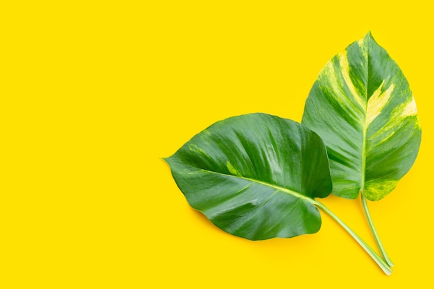Golden pothos or devil's ivy leaves on yellow background.