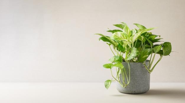 Golden pothos or epipremnum aureum in pot on soft light, beauyiful plant