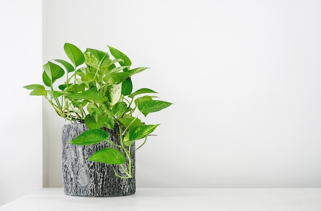 Golden pothos or epipremnum aureum on white table in the living room home and garden