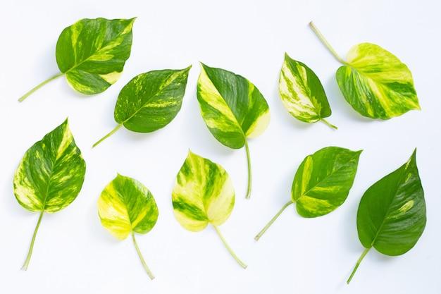 화이트에 황금 pothos 또는 악마의 담쟁이 잎