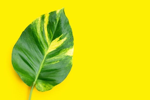 黄色の背景に黄金のポトスまたは悪魔のツタの葉。