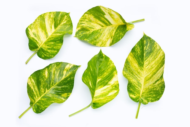 흰색 표면에 황금 pothos 또는 악마의 아이비 잎