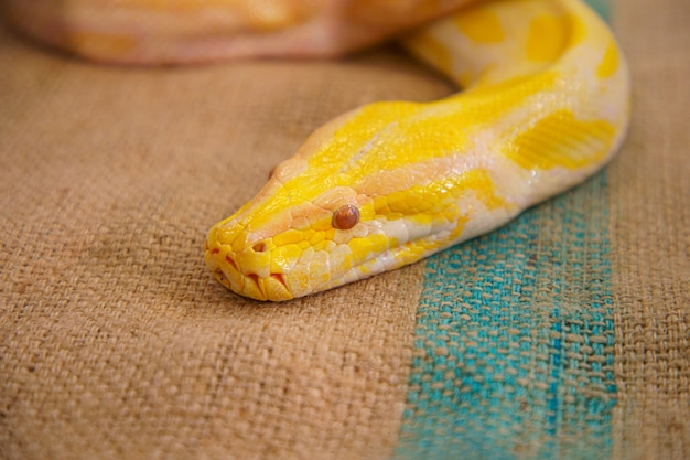 Golden python big snake closeup.
