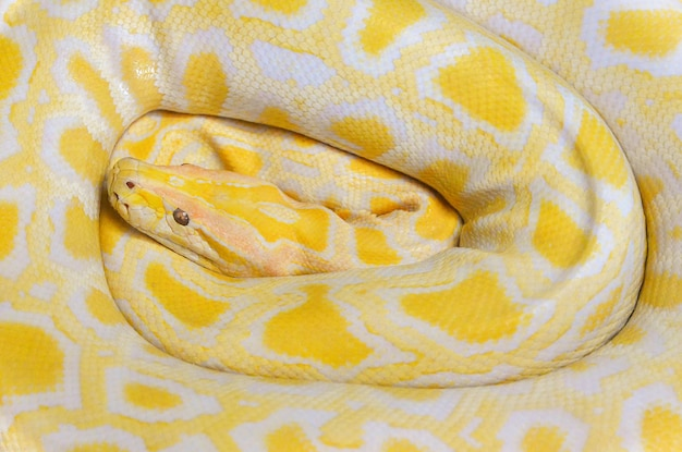 Golden python yellow snake lying texture background