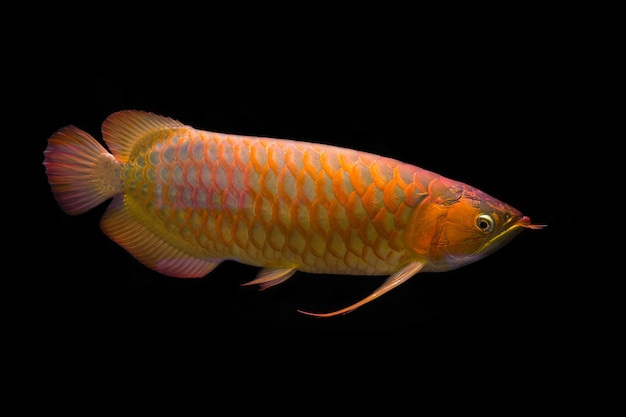 Golden red arowana in the dark