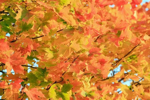 황금빛 가을 단풍 나무 단풍