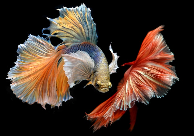 Golden red colorful  waver of betta saimese fighting fish