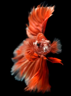 Golden red colorful  waver of betta