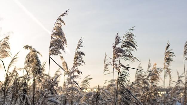 해질녘 겨울에 황금 갈대 잔디입니다.