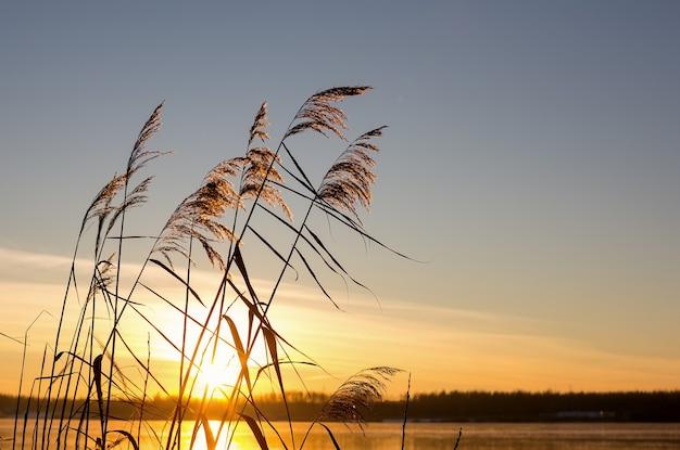 노란색 일몰 배경에 황금 리드 잔디입니다. 호수에 팜파스 풀, 갈대 층, 갈대 씨앗. 가로 사진.