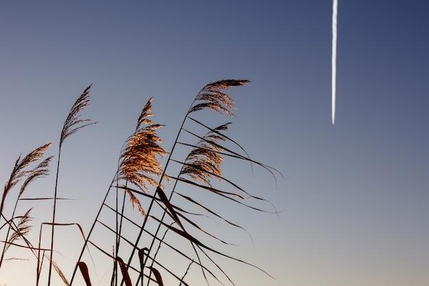 호수 위의 황금 갈대가 푸른 하늘을 배경으로 바람에 흔들리고 있습니다. 푸른 맑은 하늘을 가로질러 비행기가 날아갑니다.