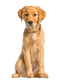 Golden retreiver puppy sitting in front of a white wall