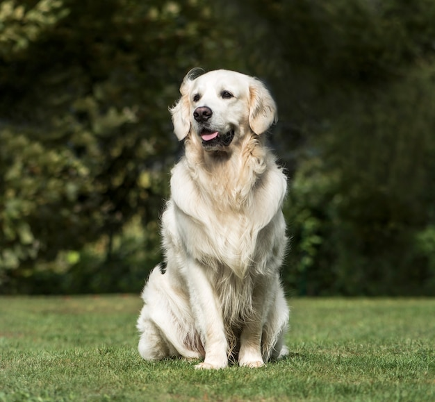 Golden retriever, 2 years old, in park