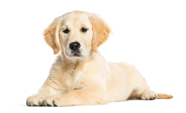 Golden retriever, 3 months old, lying in front of white surface
