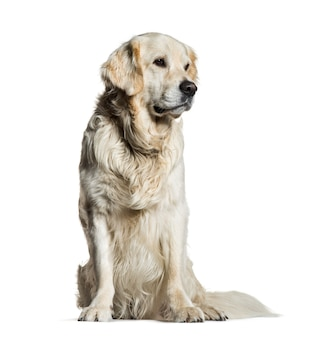 Golden retriever, 5 years old, sitting in front of white surface