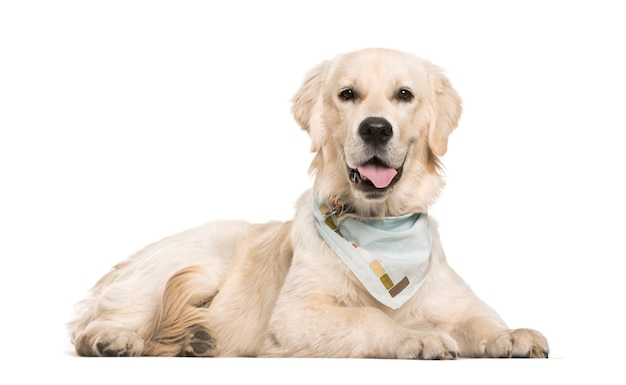 Golden retriever, 6 months old, lying in front of white surface