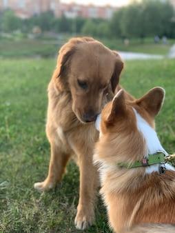 ゴールデンレトリバーとコーギーが芝生の公園でキス犬の友達が隣同士に座っている
