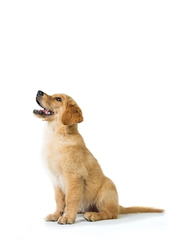 Golden retriever dog barking while sitting on the floor, isolated