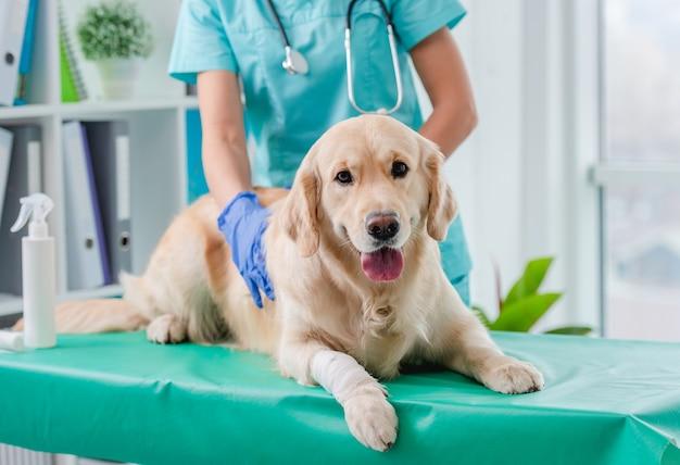 獣医クリニックでの予約中の医師によるゴールデンレトリバーの犬の耳の検査