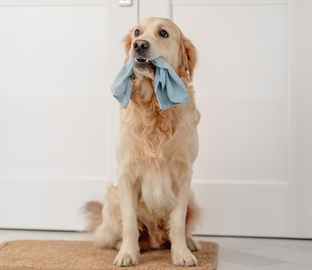 Golden retriever dog holding cleaning cloth in mouth while sitting on doormat at home