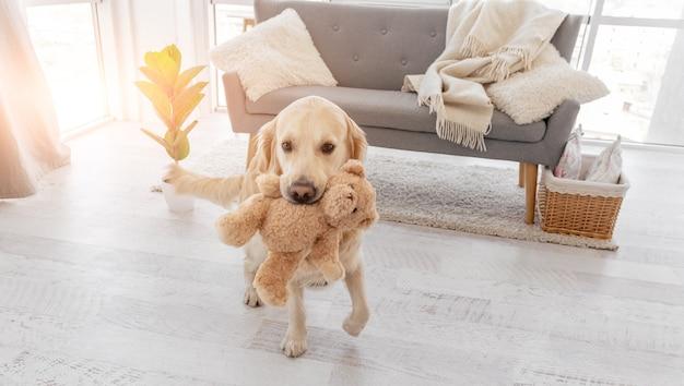 골든 리트리버 강아지는 테디베어 장난감을 이빨에 물고 햇빛이 비치는 방에 머물고 있습니다.