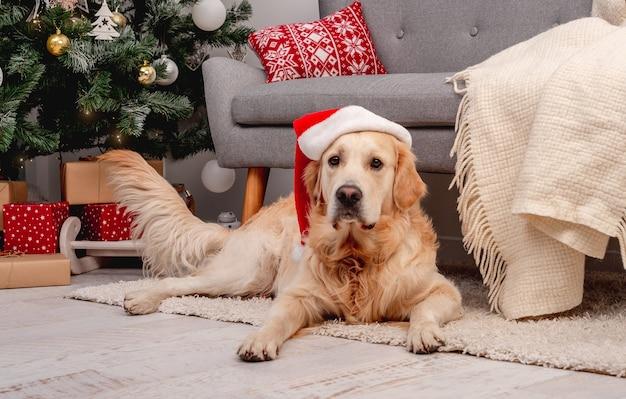 크리스마스를 위해 장식된 방에 누워 있는 새해 모자를 쓴 골든 리트리버 개