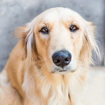 Золотистый ретривер собака с грустным выражением лица
