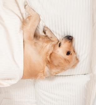 ゴールデンレトリバー犬は白いベッドに横たわっています。