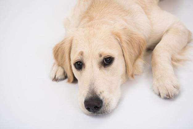 分離されたゴールデンレトリバー犬