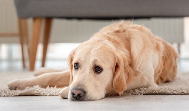 Golden retriever dog lies on the floor with sad eyes at home.