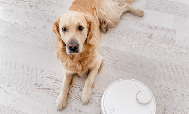 Golden retriever dog lying on the floor at home with robot vacuum cleaner close to him