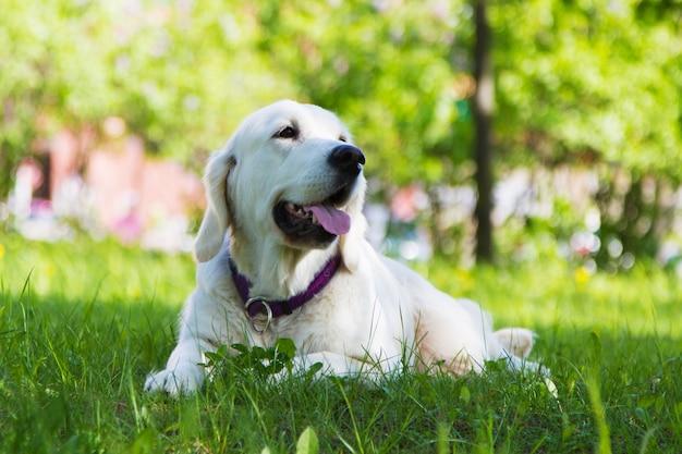 Golden retriever dog lying in the grass
