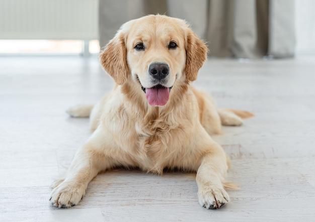 Золотистый ретривер собака лежит на светлом полу в помещении