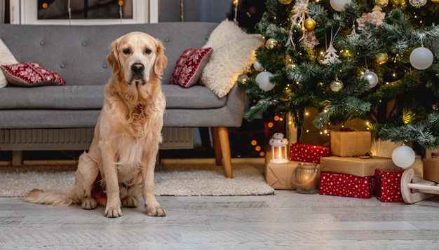 Golden retriever dog lying on room floor under christmas tree with illuminations and decorations