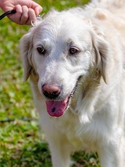 散歩中に飼い主の近くにいるゴールデンレトリバーの犬。飼い主は犬をひもにつないでしっかりと抱きしめます