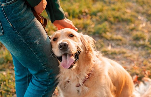 Собака золотого retriever на предпосылке листьев осени outdoors.