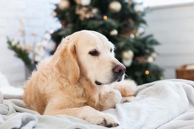 집이나 호텔에서 밝은 회색 코트 깔끔한 chrismas 나무에 골든 리트리버 개.