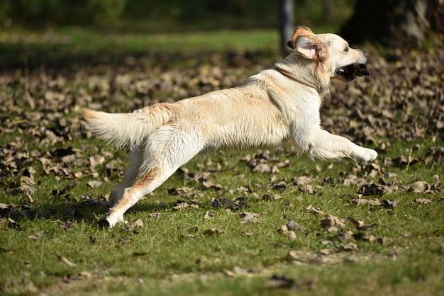Golden retriever dog playing on grass