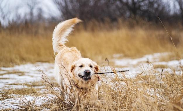 Золотистый ретривер собака играет с палкой в зубах на зимнем поле с сухой травой