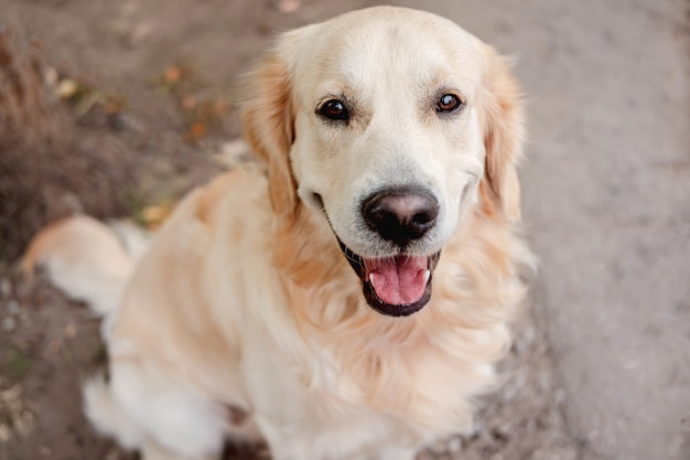 Golden retriever dog sitting on autumn ground amd looking up, top view