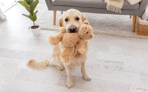 Golden retriever dog sitting on the floor at home and holding teddy bear toy in her teeth