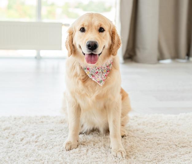 Золотистый ретривер собака сидит на светлом полу в помещении